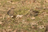Watersnippen foeragerend – Gallinago gallinago – Common snipe(a2)