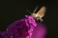 Kolibrivlinder vooraanzicht – Macroglossum stellatarum – Hummingbird hawk moth(a)17-09-2018