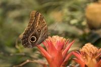 Morphovlinder – Morphopeleides