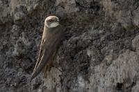 Oeverzwaluw bij zandwand – Riparia riparia(a)
