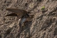 Oeverzwaluw maakt gat in zandhoop – Riparia riparia(a)