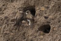 Oeverzwaluw paartje – Riparia riparia(a)