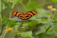 Oranje passiebloemvlinder – Dryas Julia(a)