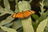 Oranje passiebloemvlinder – Dryas Julia(a1)
