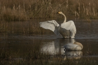 Wilde zwaan – Cygnus cygnus(a1)
