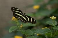 Zebravlinder – Heliconius Charithonia(a)