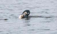 Aalscholver vangt zeeforel – Phalacrocorax(a2)