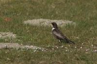 Beflijster – Turdus torquatus(a1)