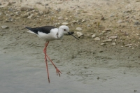 Steltkluut foeragerend – Himantopus himantopus(a)
