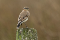 Tapuit – Oenanthe oenanthe -The northern wheatear (a)
