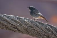 Zwarte roodstaart – Phoenicurus ochruros(a)