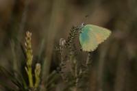 Groentje – Callophrys rubi(a3)