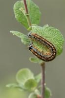 Heideringelrups – Malacosoma neustria(a1)