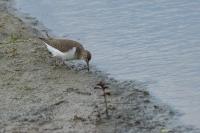 Oeverloper foeragerend – Actitishypoleucos(a)