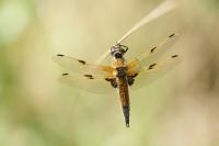 Viervlek vrouw – Libellula quadrimaculata(b1)