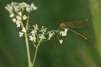Weidebeekjuffer vrouw – Calopteryx splendens(a2)