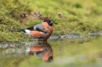Goudvink man – Pyrrhula pyrrhula – Eurasian bullfinch(a3)