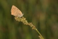 Kleine vuurvlinder – Lycaenaphlaeas(a2)