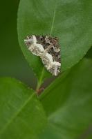 Scherphoekbandspanner – Euphyiaunangulata