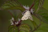 Waterleliemot – Elophila nymphaeata(a)