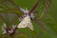 Waterleliemot – Elophila nymphaeata(a1)