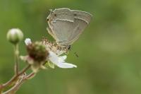 Eikenpage op braambloesem – Favonius quercus(a1)