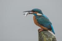 IJsvogel met voorn – Alcedo atthis – Kingfisher