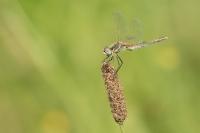 Zwervende heidelibel – Sympetrumfonscolombii