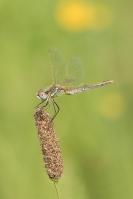 Zwervende heidelibel – Sympetrum fonscolombii(a1