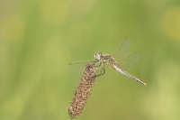Zwervende Heidelibel vrouw – Sympetrum fronscolombii(a)