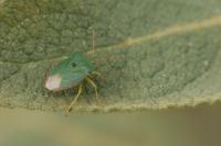 Groene schildwants – Palomena prasina(a)