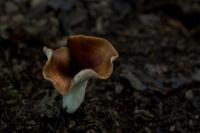 Peksteel – Polyporus badius(a1)