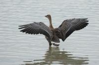 Toendrarietgans vleugelspreiding – Anser serrirostris(a)