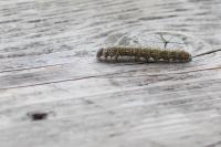 Wapendrager rups – Phalera bucephala(a2)