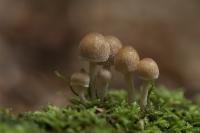 Wollige franjehoed – Psathyrella artemisiae(a)