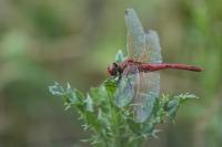 Zwervende heidelibel man – Sympetrum fonscolombii(a)