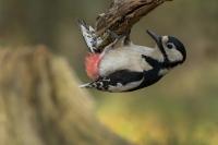 Grote bonte specht foeragerend – Dendrocopos major (1a) – Great spottedwoodpecker