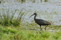 Zwarte Ibis fouragerend – Plegadis falcinellus – GlossyIbis(a)