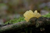 Gele trilzwam – Tremella mesenterica(a)