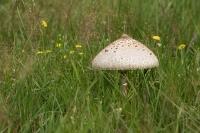 Grote parasolzwam – Macrolepiota procera (a) Ze zijn erweer