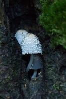 Ivoorinktzwam in berkholte – Coprinopsisspelaiophila(a)