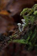 Houtknoopje – Cudoniella acicularis(a)