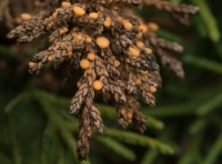 Jeneverbesbekertje – Pithya cupressina(a2)