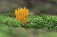 Kleverig koraalzwammetje – Caloceraviscosa(a1)