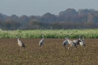Kraanvogels foeragerend – Grus grus(a1)