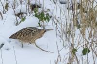 Roerdomp in de sneeuw – Botaurusstellaris(a)