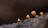 Witdekselkalkbekertje – Craterium minutum (a) foto FonsWijering