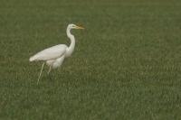 Grote zilverreiger – Ardea alba -Great egret(a)