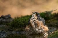 Sperwer man – Accipiter nisus – Sparow hawk(a)