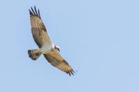 Visarend in de vlucht – Pandion haliaetis – Fish hawka